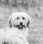 Picture of tibetan terrier in 1973