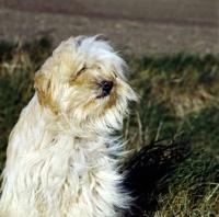 Picture of tibetan terrier in the wind