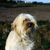 Picture of tibetan terrier in wind