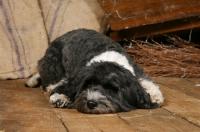 Picture of Tibetan Terrier lying on floor