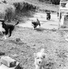 Picture of tibetan terrier puppies in 1965