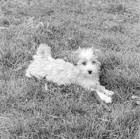 Picture of tibetan terrier puppy in 1965