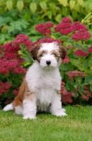Picture of Tibetan Terrier puppy