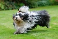 Picture of Tibetan Terrier running on grass