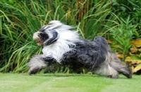 Picture of Tibetan Terrier running