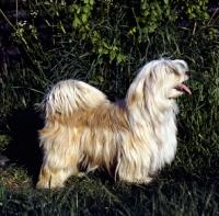 Picture of tibetan terrier standing