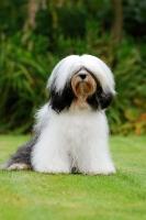 Picture of Tibetan Terrier