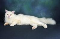Picture of tiffanie cat lying in studio