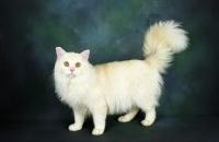 Picture of tiffanie cat standing in studio
