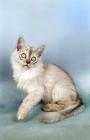 Picture of tiffanie kitten, chocolate shaded