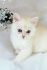 Picture of tiffanie kitten