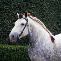 Picture of titanic, percheron stallion at haras du pin