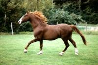 Picture of tito, fredericksborg stallion