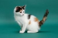 Picture of Torbie & White Turkish Van kitten, sitting down