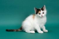 Picture of Torbie & White Turkish Van kitten