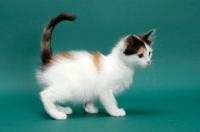 Picture of Torbie & White Turkish Van kitten on green background