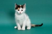 Picture of Torbie & White Turkish Van kitten, looking at camera