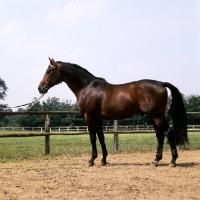 Picture of tornado, trakehner stallion