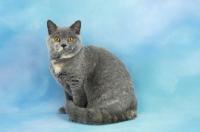Picture of tortie british shorthair cat