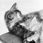 Picture of tortoiseshell cat and tabby longhair kitten