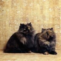Picture of tortoiseshell cats, champion comari persian garden tortoiseshell cat, left, champion comari blondie, right