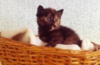 Picture of tortoiseshell kitten in a basket