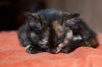 Picture of Tortoiseshell kitten sleeping