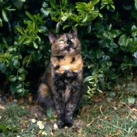 Picture of tortoiseshell non pedigree cat sitting by bush looking prim