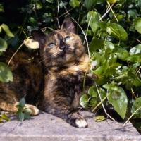 Picture of tortoiseshell non pedigree cat lurking in bush