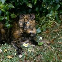 Picture of tortoiseshell non pedigree cat lurking hopefully among leaves