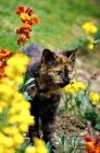 Picture of tortoiseshell non pedigree cat prowling among flowers