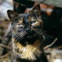 Picture of tortoiseshell non pedigree farm cat demanding attention