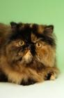 Picture of tortoiseshell persian cat portrait