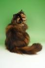Picture of tortoiseshell persian cat sitting down