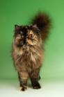 Picture of tortoiseshell persian cat