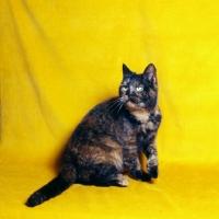 Picture of tortoiseshell short hair cat