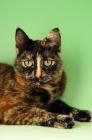 Picture of tortoiseshell shorthair (non pedigree) portrait