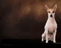 Picture of toy Fox Terrier in studio