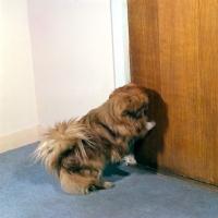 Picture of trained pekingese opening door