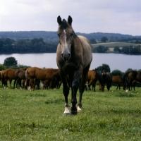 Picture of trakehner mare with group at trakehner gestüt rantzau