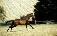 Picture of trakehner stallion running in a field at webelsgrund