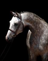 Picture of Trakehner, Welsh Pony on black background