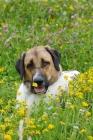 Picture of transmontano mastiff (cao de gado transmontano - portuguese flock guarddog), portrait