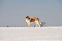 Picture of Transmontano Mastiff in snow