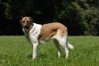 Picture of transmontano mastiff, portguese herder, on grass