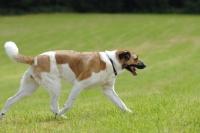 Picture of transmontano mastiff, portguese herder, trotting