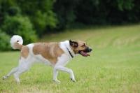 Picture of transmontano mastiff, portguese herder, running