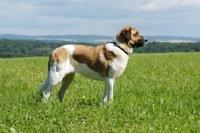 Picture of transmontano mastiff, portuguese herder, in field