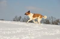Picture of Transmontano Mastiff running in snow