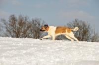 Picture of Transmontano Mastiff running